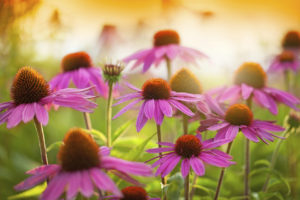 Echinacea to help minimize the risk of flu and influenza