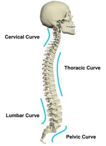 The curvature of spine