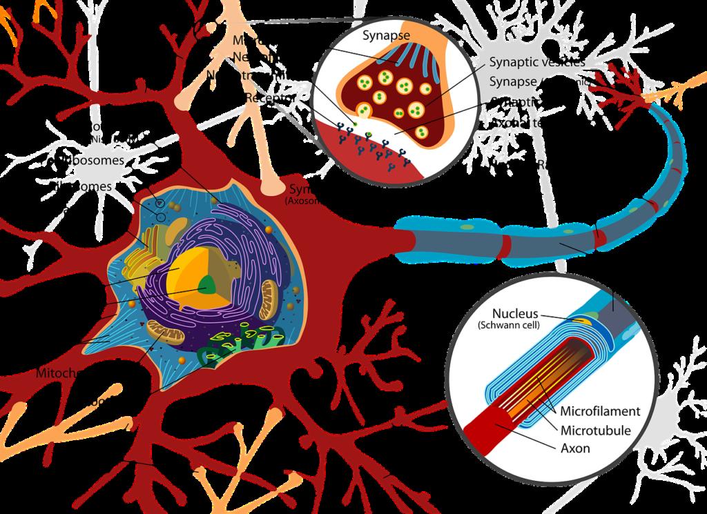 nervous system - Chiropractor