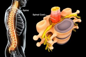 Spine and spinal chord